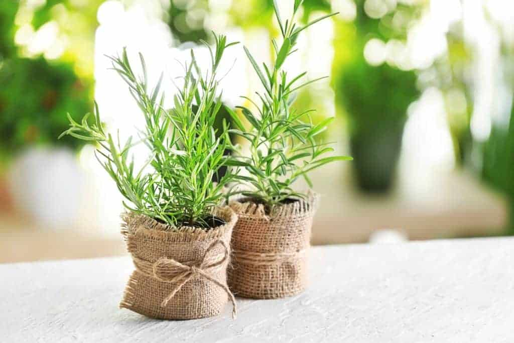 Spring Table Setting idea: tiny rosemary plants wrapped in burlap to be used as a centerpiece as well as take-home gifts